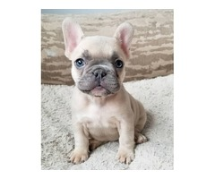 BLue Male and Females French Bulldog Puppies