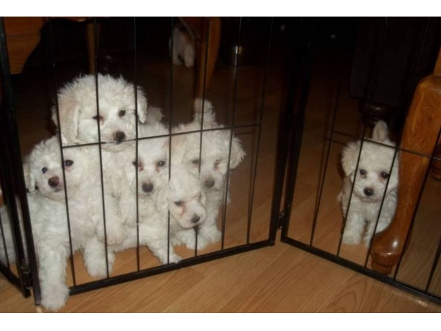 Bichon Frise Puppies - Animals - New York City - New York