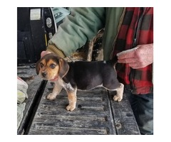 Registered Male Bluetick Beagle