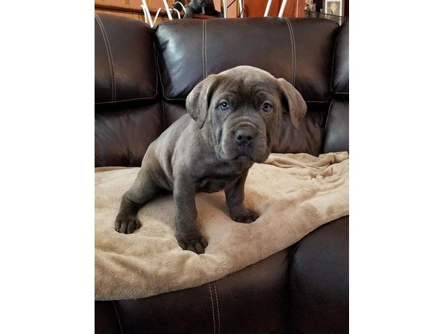 Purebred Cane Corso Puppies For Sale Animals Chicago Illinois
