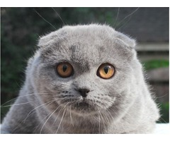 Blue scottish fold female