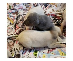 AKC Doberman Puppies - Ears will be cropped