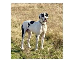 45% European AKC registered Great Dane puppies!!!