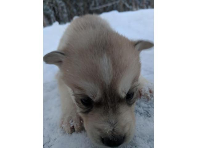 Siberian Husky German Shepherdmalamute Puppies Animals New