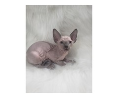 2 beautiful male sphynx kittens