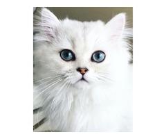 Persian silver male