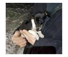 Fox Terrier/Beagle Mix