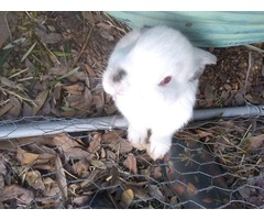Baby bunny's for sale
