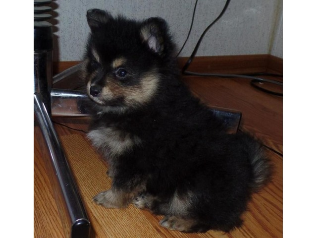Teacup Pomeranian Puppies Tri Colors Merle Blue Wct Animals