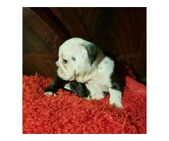 Molly ❤English Bulldog ???? Black triple carrier