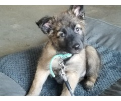 8 week old male Belgian malinois
