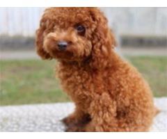 Goldendoodle Puppy 17 Weeks