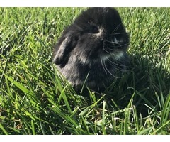 Holland lops and lionhead