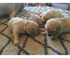 Cute Labrador | free-classifieds-usa.com