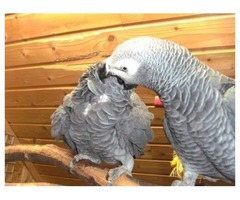 Male&Female African Grey