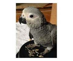 Male&Female African Grey | free-classifieds-usa.com