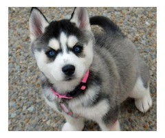 Siberian Husky Puppy | free-classifieds-usa.com