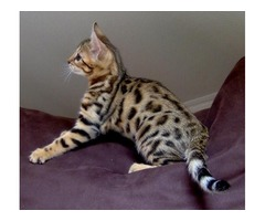 Bengal Kitten Available