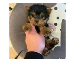 Humble and Adorable AkC Regisitered 1.3 Lbs. Teacup Yorkie Puppies