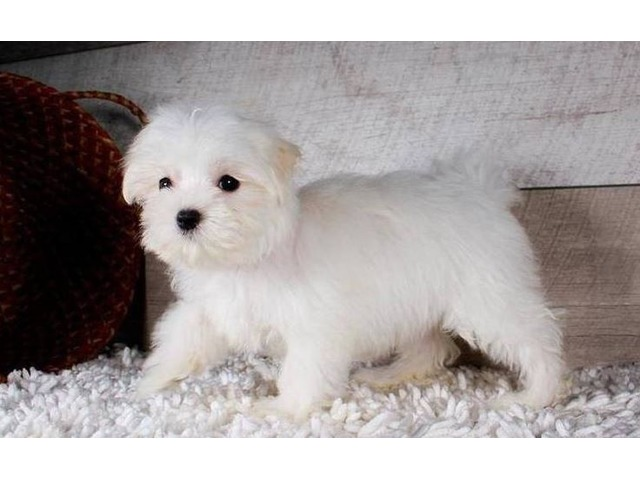 Nice and Healthy Maltese Puppies Available | free-classifieds-usa.com