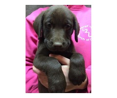 New Litter of Chocolate Lab Puppies are Ready Today!!