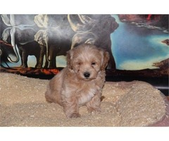 Maltipoo Puppies Adorable | free-classifieds-usa.com