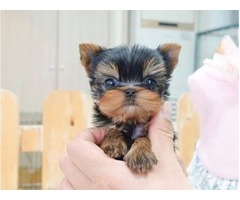 Tiny Good Yorkie Pups