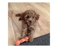 Super Tiny Red Maltipoo | free-classifieds-usa.com