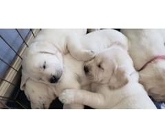 AKC Labrador Retriever Puppies | free-classifieds-usa.com