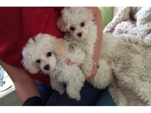 Toy Poodle puppies | free-classifieds-usa.com
