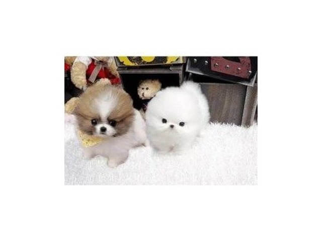 Healthy Pomeranians Pups | free-classifieds-usa.com