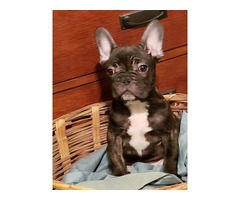 Akc French bulldog pup Male only