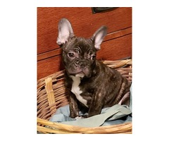 Akc French bulldog pup Male only | free-classifieds-usa.com