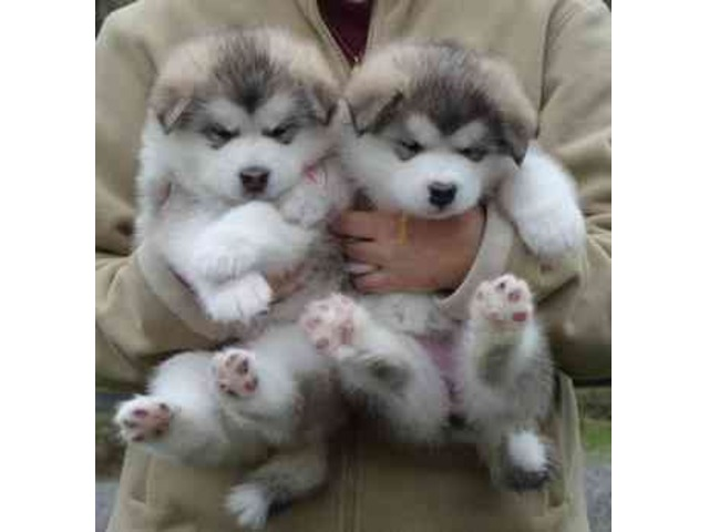 2 Alaskan Malamute Puppies For To