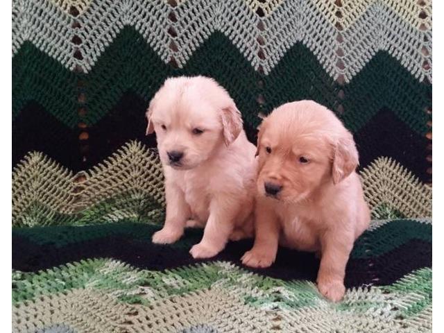 Golden Retreiver Puppies | free-classifieds-usa.com