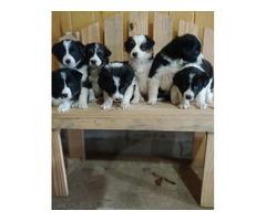 Collie/ Aussie mix pups   free-classifieds-usa.com