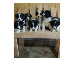 Collie/ Aussie mix pups | free-classifieds-usa.com