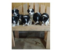 Collie/ Aussie mix pups | free-classifieds-usa.com