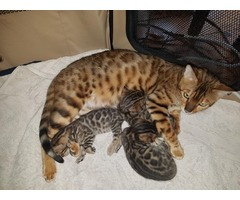 Bengal kittens tica catery | free-classifieds-usa.com