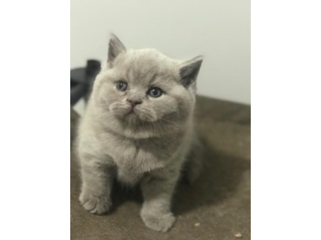 British shorthair lilac male | free-classifieds-usa.com