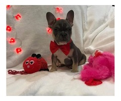 French bulldog puppy Male
