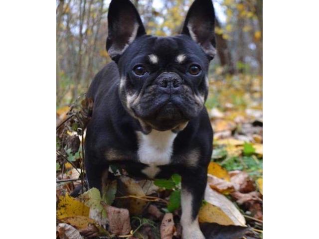 French Bulldog Puppy Male Animals Chicago Illinois