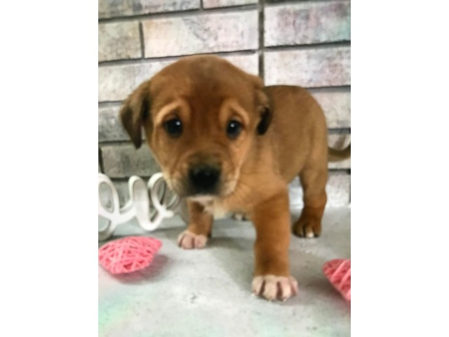 Lab Retriever Boxer Pup | free-classifieds-usa.com