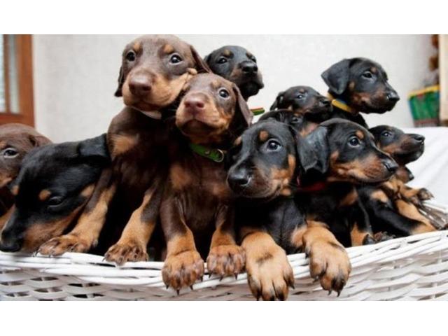 AKC Doberman pincher puppies | free-classifieds-usa.com