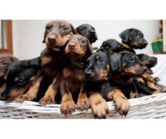 AKC Doberman pincher puppies