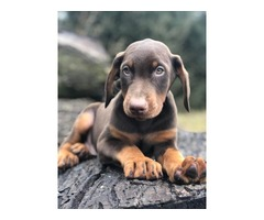 AKC Doberman pincher puppies   free-classifieds-usa.com