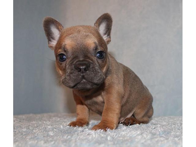 AKC blue/fawn/tri french bulldog puppy girl (ayla) | free-classifieds-usa.com