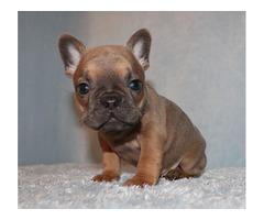 AKC blue/fawn/tri french bulldog puppy girl (ayla)
