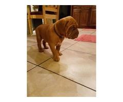 Beautiful Dogue de Bordeaux puppy