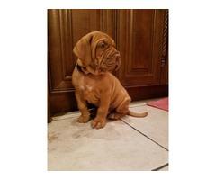Beautiful Dogue de Bordeaux puppy | free-classifieds-usa.com